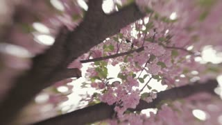 Spring blossoms. Blossom on a Japanese cherry tree. Spring landscape. No people around. Outside shooting, windy weather. Spring atmosphere. Camera stabilizer shot, lensbaby, close up view.