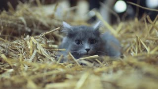 Attentive, frightened gray cat with green eyes lies in the hay, looks right towards the camera. Portrait of British shorthair cat, lovely pet. Having fun, domestic animals. Positive emotions.