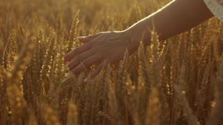 Delicate woman's hand running through the golden wheat, sunset lightens the view.