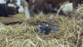 Frightened gray cat lies in the hay and looks around with the interest. Animal farm on the background. Taking a nap, domestic animals. Positive emotions, playful mood.