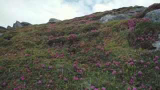 Low angle shot of a smiling young female backpacker in casual wear looking around with enjoyment, and going down the mountain hill covered with pink flowers. Beauty of nature.