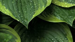 Rain hitting and running off large leaves (with audio)