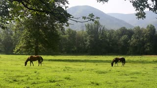 Two horses grazing in a field in a scenic valley surrounded by hills at Cades Cove in the Smokey Mountains