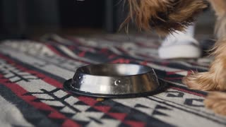 Close-up Specialized dog food is poured into a silver platter. A small dog is a Yorkshire terrier eating from his plate. Slow motion. Slow motion.