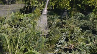 Close-up. Young man gardener watering garden with hose. 120fps. Slow motion.