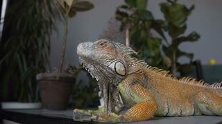 Lizard of yellow-green color sitting on the table in the studio. Iguana is splashed with droplets of water. Slow motion.