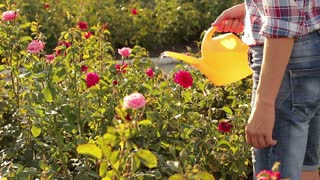 Watering flowering roses from a watering can. Gardening and maintenance of nursery flowers