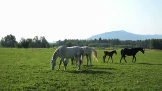 Black and white Lipizzan horses on the meadow.