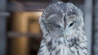 Gray owl close up.