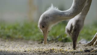 Greater Rhea Birds Eating Corn