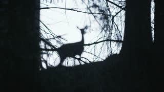 Roar dear in the forest in evening time.