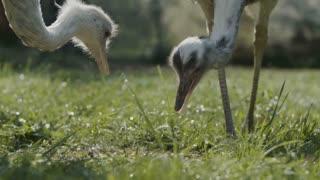 Two Rhea Birds Eating