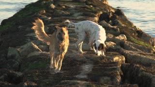 A German Shepard and another dog run along a beach jetty in slow motion