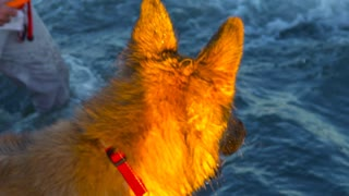 A German Shepard (Dog) charges into the waves in CT beach Waters