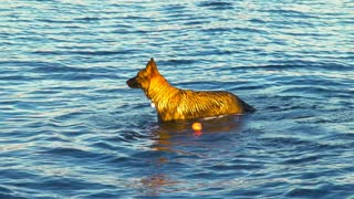 A German Shepard (Dog) enjoys playing in deep waters with a Toy Ball