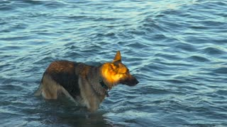 A German Shepard treads through waves to deeper waters at a beach