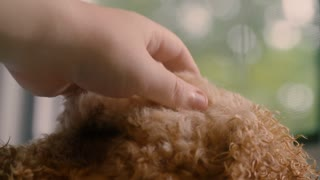 A hand pets the top of the head of a labradoodle dog