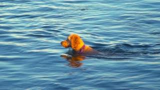 A Labradoodle (Dog) swims in the ocean near a beach.