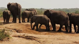 A large herd of Elephants try to stay cool along an African riverbank