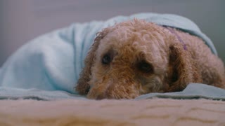 A lonely dog wrapped in a blue blanket lays on a bed waiting for its owners