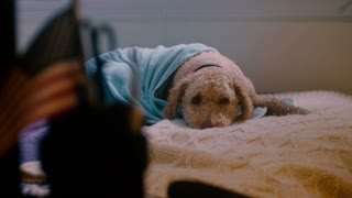 A lonely dog wrapped in a blue blanket waits for its owners to return home