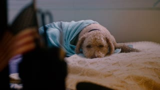 A lonely dog wrapped in a blue blanket waits on bed for its owners to return