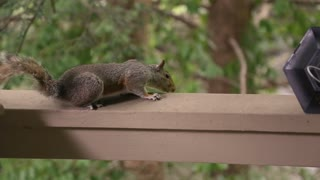 A scheming squirrel attacks the remains of a bird feeder it knocked down.