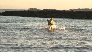 An aquatic Labradoodle (dog) charges through waters near a beach Jetty
