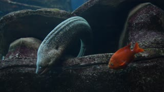 An Eel creepily hovers over an orange fish
