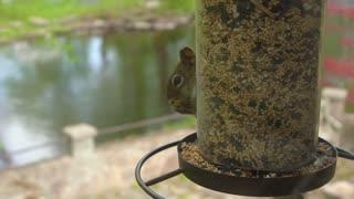 Baby Squirrel Eats Bird Seed at Hanging Bird Feeder in Slow Motion
