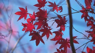 Beautiful, fluttering Red Leaves Contrast against the Blue Sky in Fall
