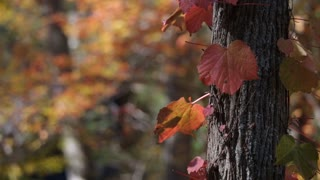 Beautiful red amber and orange leaves flutter around a tree trunk in fall