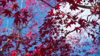 Beautiful Red Leaves Contrast against the Blue Sky in Fall