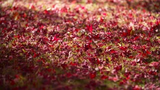 Beautiful Red Leaves fall to the ground in Fall