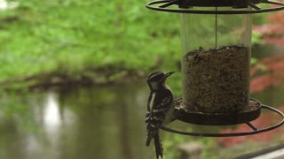 Black-and-white Warbler Eating on Bird Feeder joined by another Warbler