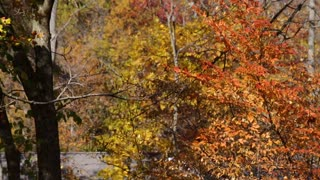 Branches of vivid yellow, orange & amber leaves sway during fall