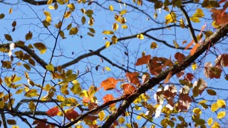 Brightly colored orange and yellow leaves contrast against a clear blue Sky