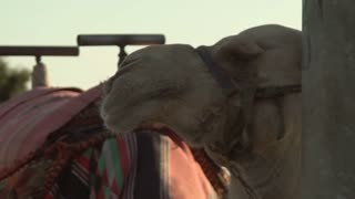 Closeup of a Camel in Israel