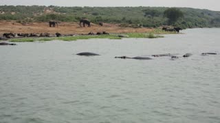Elephants, Hippos and Wildebeest lounge along an African River