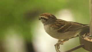 House Sparrow Chirping on Bird Feeder