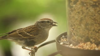 House Sparrow Eats from Bird Feeder slow motion