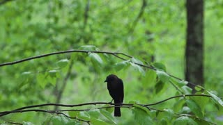 Juvenile American Crow in Tree