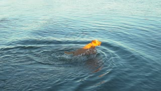 Labradoodle Dog leaps and swims in deep water in pursuit of a thrown Rock