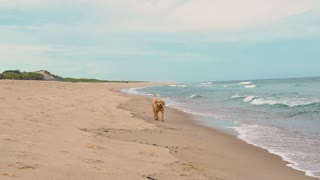 Labradoodle Dog runs towards the camera on lonely beach in slow motion