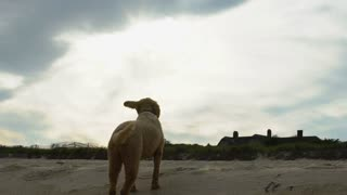 Labradoodle dog wags its tail in slow motion while enjoying sky vista on beach