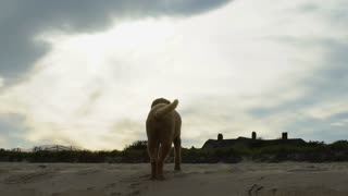 Labradoodle dog with wagging tail takes in dramatic clouds and sky at beach