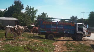 Livestock wait, tied to a Haitian Truck
