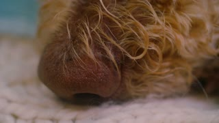 Macro closeup of the nose of a dog resting on a soft bed