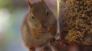 Macro: Cute Baby Squirrel Eats on a bird-feeder in extreme slow motion