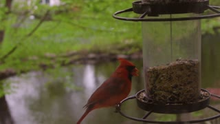Male Northern Cardinal (bird) feeds at bird feeder before flying off.